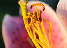Gelbe Polan-Körner gegen rosa Blumenblätter Lizenzfreie Stockbilder