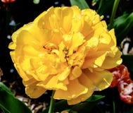 Gelbe Pomponette-Tulpe lizenzfreies stockbild