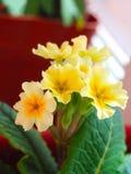 Gelbe Primel eingemacht in einem braunen Topf stockfotografie