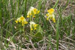 Gelbe Primel am Frühling lizenzfreie stockfotografie
