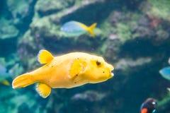 Gelbe Pufferfische stockfotografie