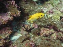 Gelbe Pufferfische, Blowfish unter Korallen lizenzfreies stockfoto