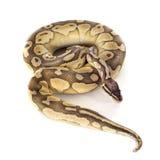 Gelbe Pythonschlange königlich Lizenzfreie Stockfotografie
