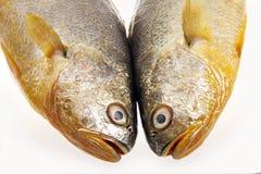 Gelbe Quakfischnahaufnahme. stockfoto