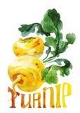 Gelbe Rübe Handzeichnungsaquarell auf weißem Hintergrund mit Titel lizenzfreie abbildung