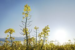 Gelbe Rapsfelder lizenzfreies stockfoto