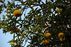 Gelbe reife Pampelmusen auf einem Baumast stockfoto