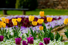 Gelbe Reihe von Tulpen im Garten Lizenzfreies Stockfoto