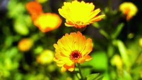 Gelbe Ringelblume stock video footage