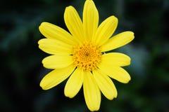 Gelbe Ringelblume Blume Calendulaarvensis Stockbild