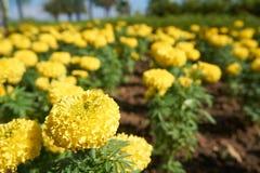 Gelbe Ringelblume im Garten Stockfoto