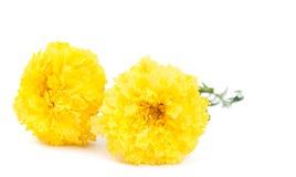 Gelbe Ringelblumeblume lizenzfreies stockbild