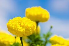 Gelbe Ringelblumen gegen blauen Himmel Lizenzfreie Stockfotografie