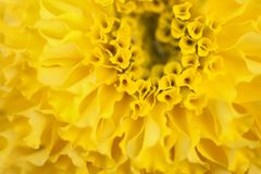 Gelbe Ringelblumenblume lizenzfreies stockbild