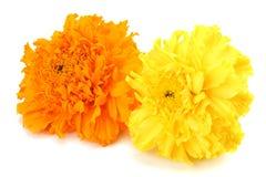 gelbe Ringelblumenblume, Tagetes-erecta, mexikanische Ringelblume, aztekische Ringelblume, afrikanische Ringelblume lokalisiert a lizenzfreies stockfoto