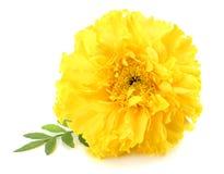 gelbe Ringelblumenblume, Tagetes-erecta, mexikanische Ringelblume, aztekische Ringelblume, afrikanische Ringelblume lokalisiert a lizenzfreie stockfotos