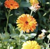 Gelbe Ringelblumenblumen im Garten Lizenzfreies Stockbild