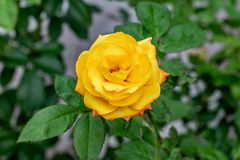 Gelbe rosa blühende Rose lizenzfreies stockbild