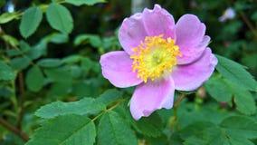 Gelbe rosa Blume Lizenzfreie Stockfotografie