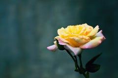 Gelbe rosa Rose Lizenzfreies Stockbild