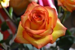 Gelbe rosa Rose Lizenzfreie Stockbilder