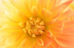 Gelbe rosafarbene Dahlie Lizenzfreie Stockbilder