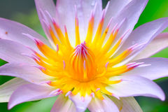 Gelbe rosafarbene Lotosblume, die am Sommer blüht Stockbilder