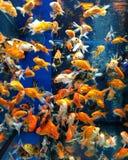 Gelbe, rosafarbene, orange, rote, grüne lustige Fische Lizenzfreie Stockfotos