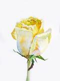 Gelbe Rose Stockfoto