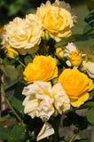 Gelbe Rose auf der Niederlassung Stockfoto