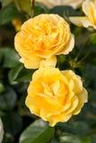 Gelbe Rose auf der Niederlassung im Garten Stockfoto