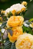 Gelbe Rose auf der Niederlassung im Garten Lizenzfreies Stockfoto