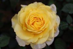 Gelbe Rose In Garden Lizenzfreies Stockbild