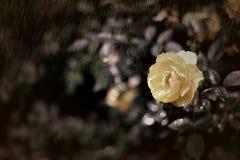 Gelbe Rose im Regen Lizenzfreie Stockfotos
