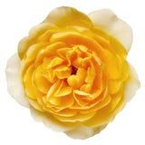Gelbe Rose mit dem Pfad getrennt Stockfotos