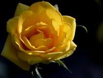 Gelbe Rose mit Seitenbeleuchtung Stockfotografie