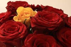Gelbe Rose unter roten Rosen Lizenzfreies Stockfoto