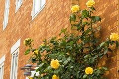 Gelbe Rosen über Backsteinmauer Lizenzfreie Stockbilder