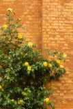 Gelbe Rosen über Backsteinmauer Lizenzfreies Stockfoto