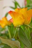 Gelbe Rosen Stockbilder