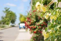 Gelbe Rosen auf einem Hintergrund einer Straße mit Bäumen und Himmel Sun Lizenzfreie Stockbilder