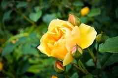 Gelbe Rosen-Blüte mit den neuen Knospen im Garten Lizenzfreie Stockbilder