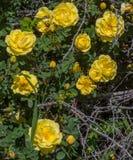 Gelbe Rosen, die auf einem verlassenen Gehöft blühen Lizenzfreie Stockfotografie
