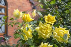 Gelbe Rosen in einem Garten Stockfotografie