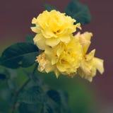 Gelbe Rosen im Garten Stockbild