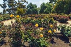 Gelbe Rosen im Garten Lizenzfreie Stockfotografie