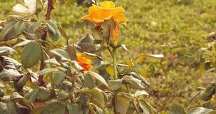 Gelbe Rosen im Rosengarten im Herbstzeitsatz getonter Gesamtlänge stock video