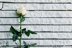 Gelbe Rosen legten gegen die Wand für die Herstellung des schwarzen Bodens Lizenzfreies Stockbild