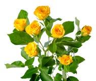 Gelbe Rosenbuschblumen lokalisiert lizenzfreie stockbilder
