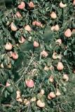 Gelbe rote Birnen auf dem Baum Stockfoto